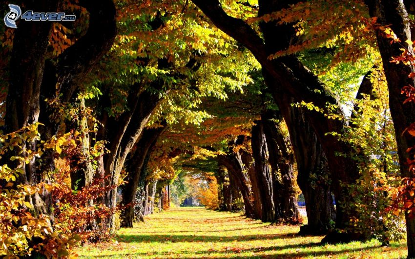 avenue of trees, colorful leaves, autumn