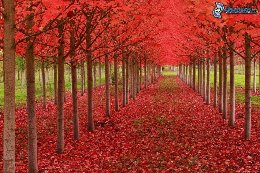 avenue of trees, red leaves, autumn