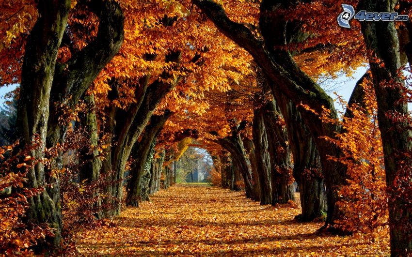 avenue of trees, yellow leaves, orchard, park, yellow trees