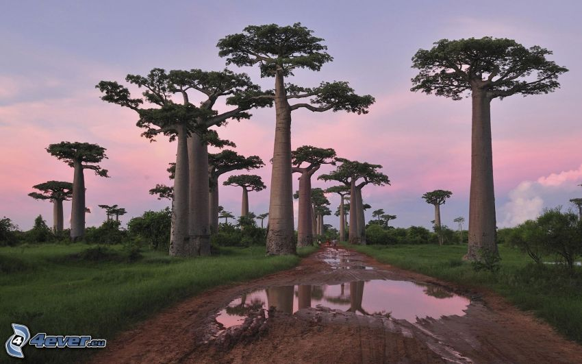 baobabs, field path, puddles