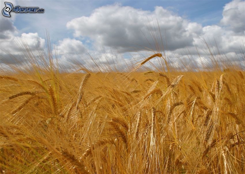 barley, field, clouds