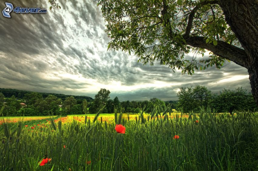 barley, papaver rhoeas, tree