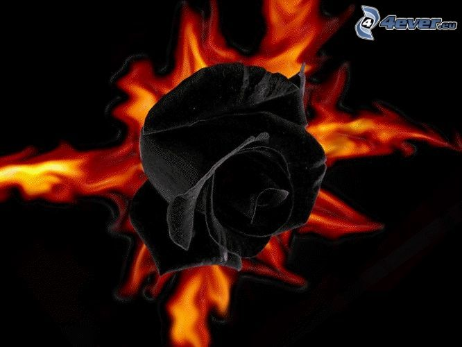 black rose, fire