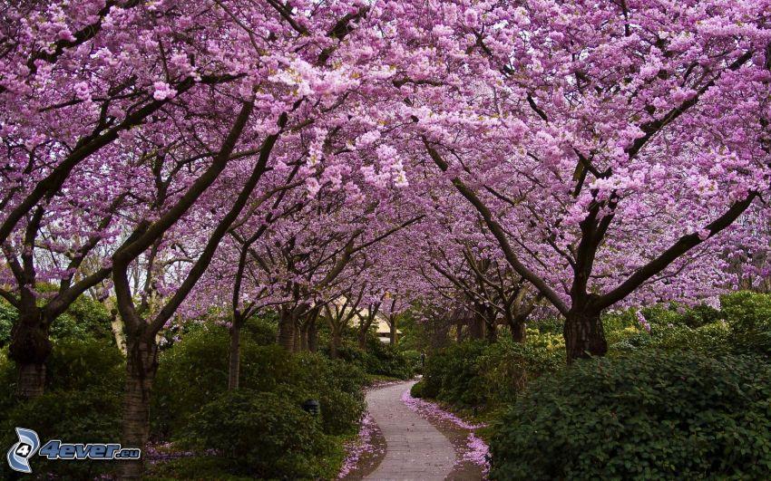 blooming trees, sidewalk, bushes