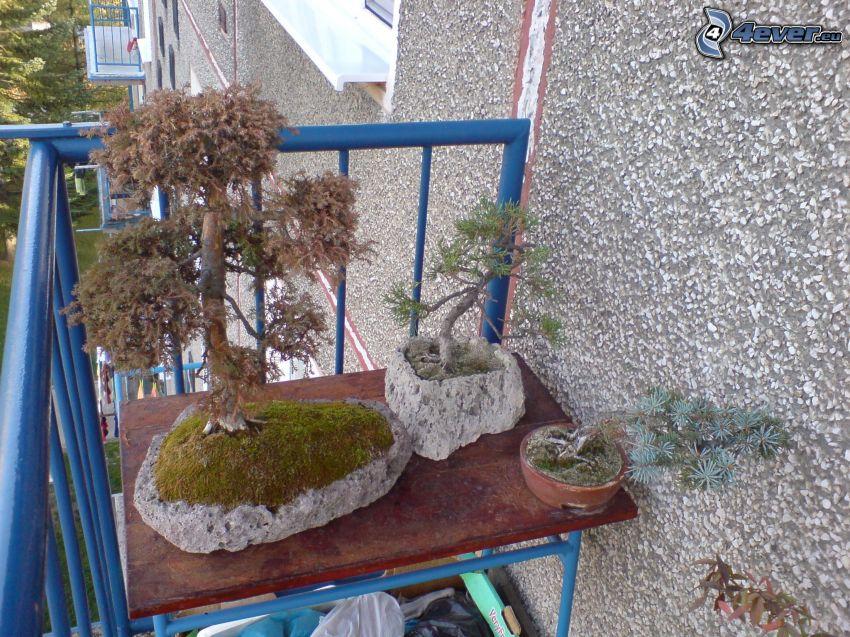 bonsai, balcony