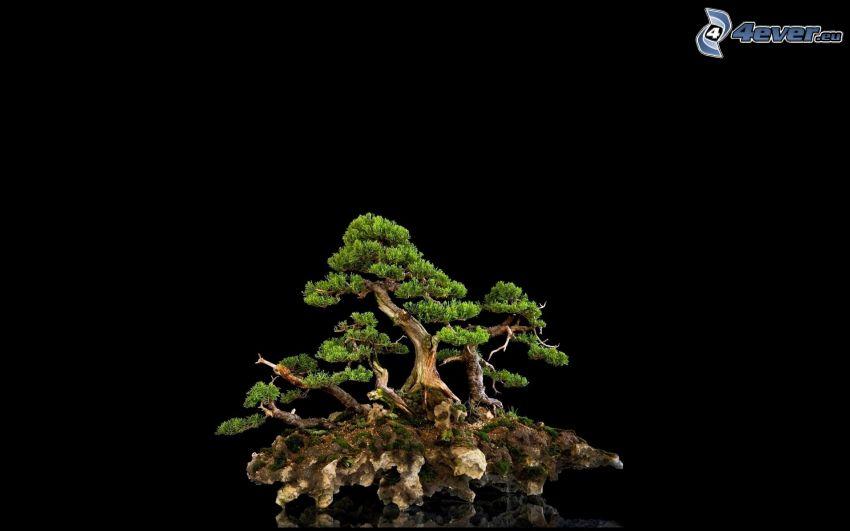 bonsai, black background