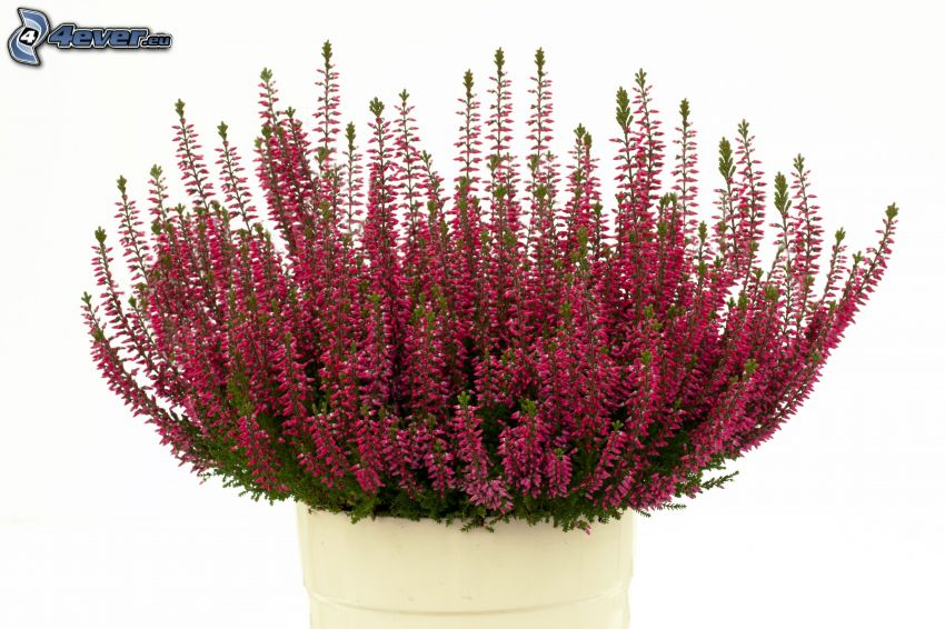 calluna, bush, flower in vase