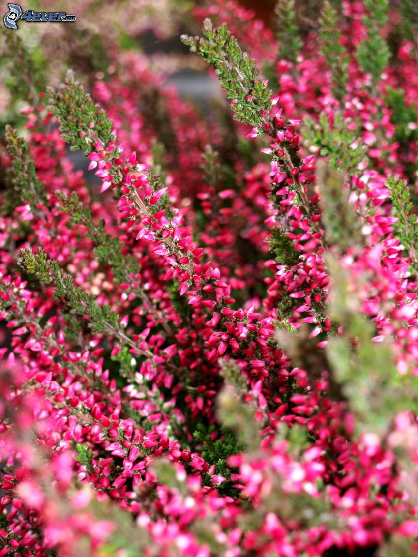 calluna, bush, pink flower