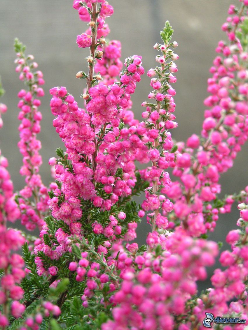 calluna, bush, pink flower