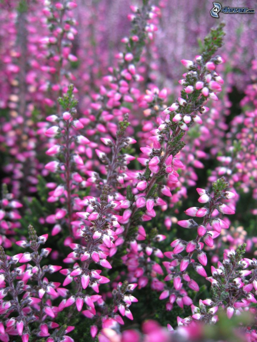 calluna, bush, pink flowers