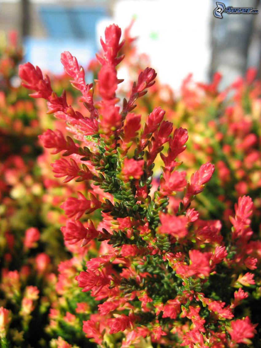 calluna, bush, red flower