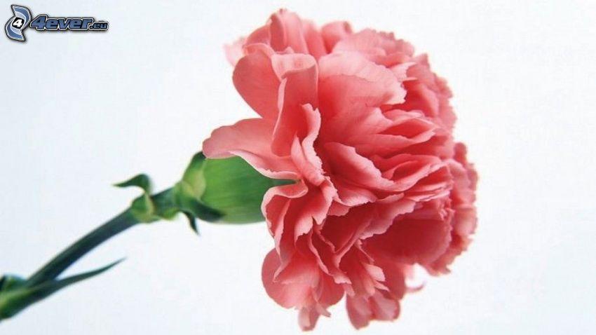 carnation, pink flower