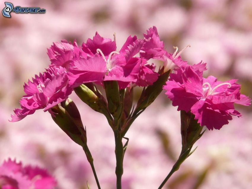carnation, pink flowers