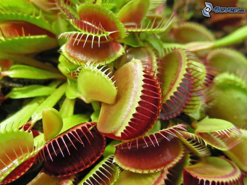 carnivorous plants, venus flytrap