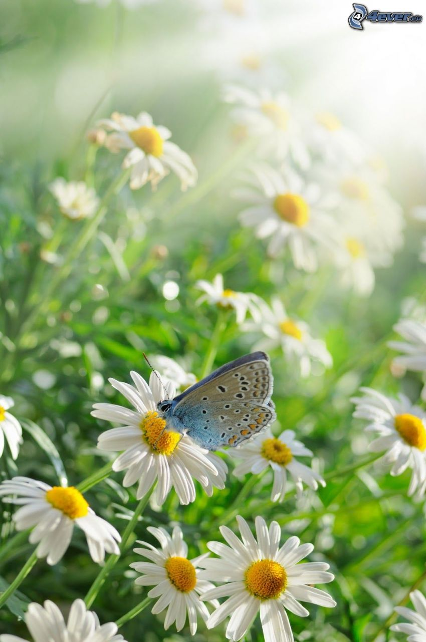 chamomiles, butterfly