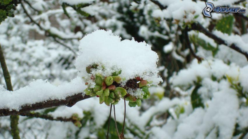 cherry, winter