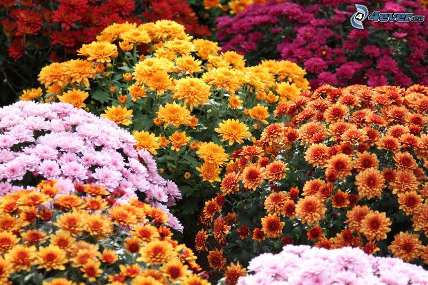 chrysanthemums, colored flowers