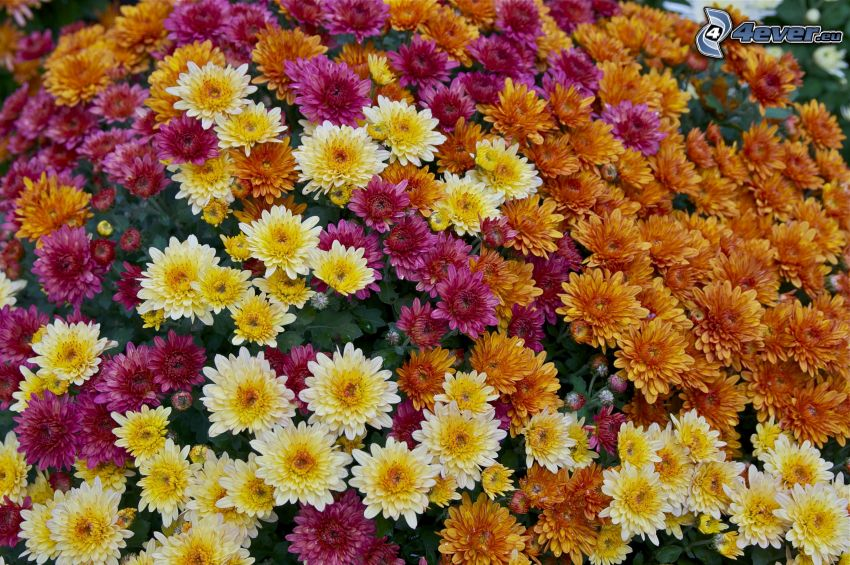 chrysanthemums, colored flowers