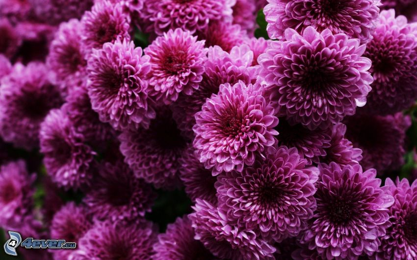chrysanthemums, purple flowers