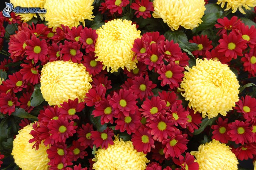 chrysanthemums, yellow flowers, red flowers