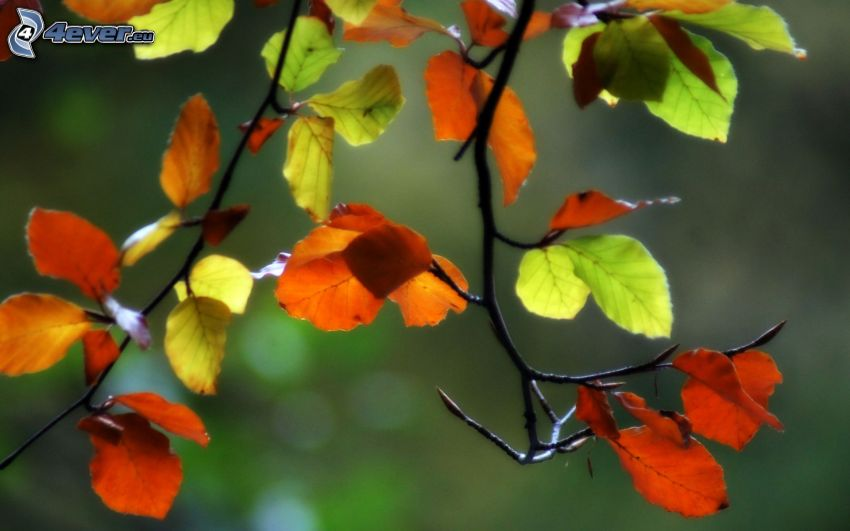 colored leaves, branches