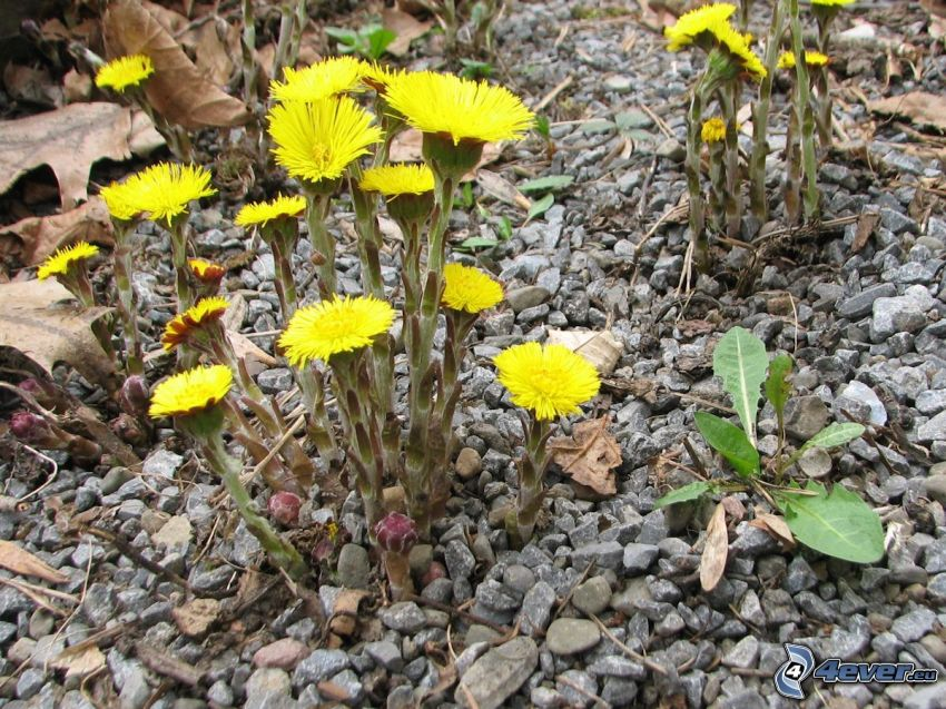 Coltsfoot, gravel