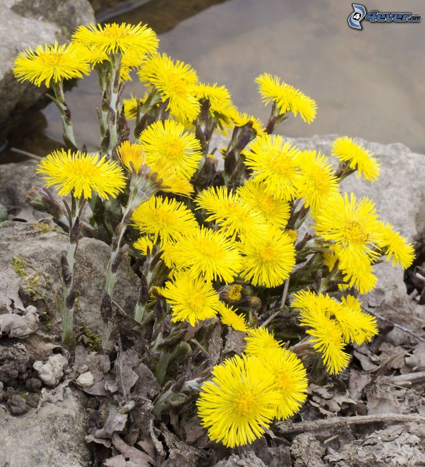 Coltsfoot, yellow flowers
