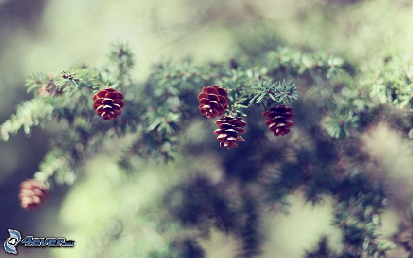conifer cones, coniferous branches