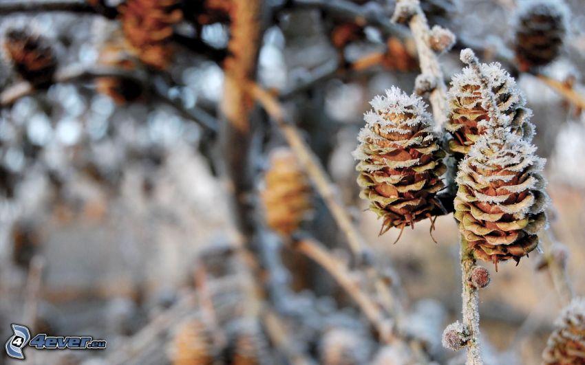 conifer cones, icing