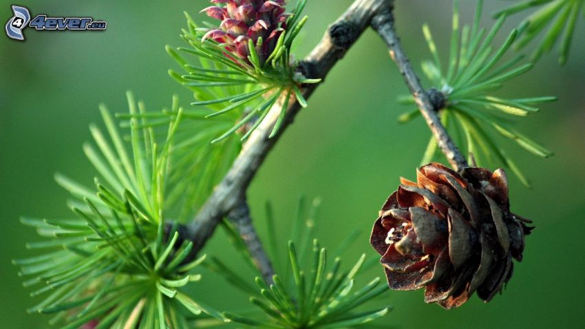 conifer cones, twig, tree needles