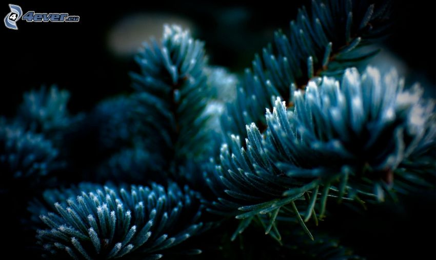 conifer twig
