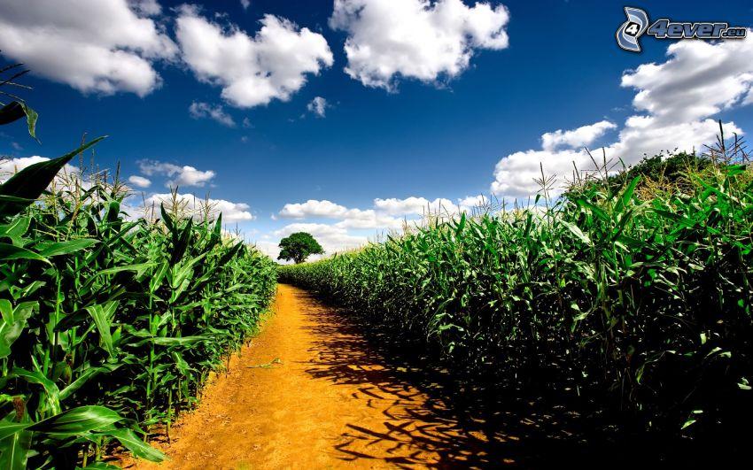 corn field, clouds