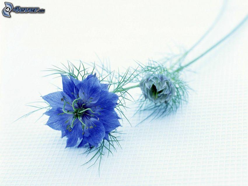 cornflower, blue flower