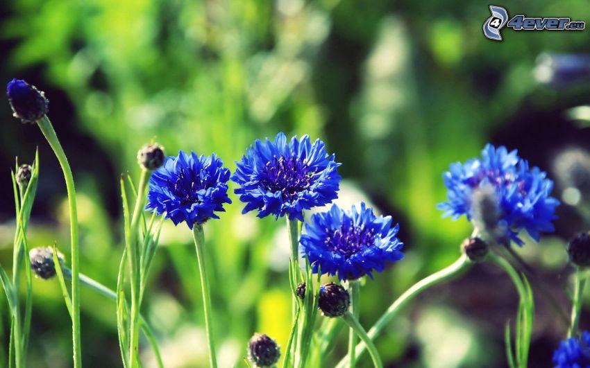 cornflower, blue flowers