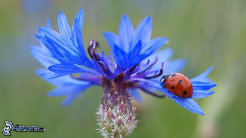 cornflower, ladybug