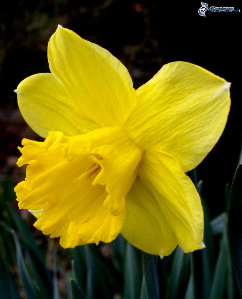 daffodil, yellow flower