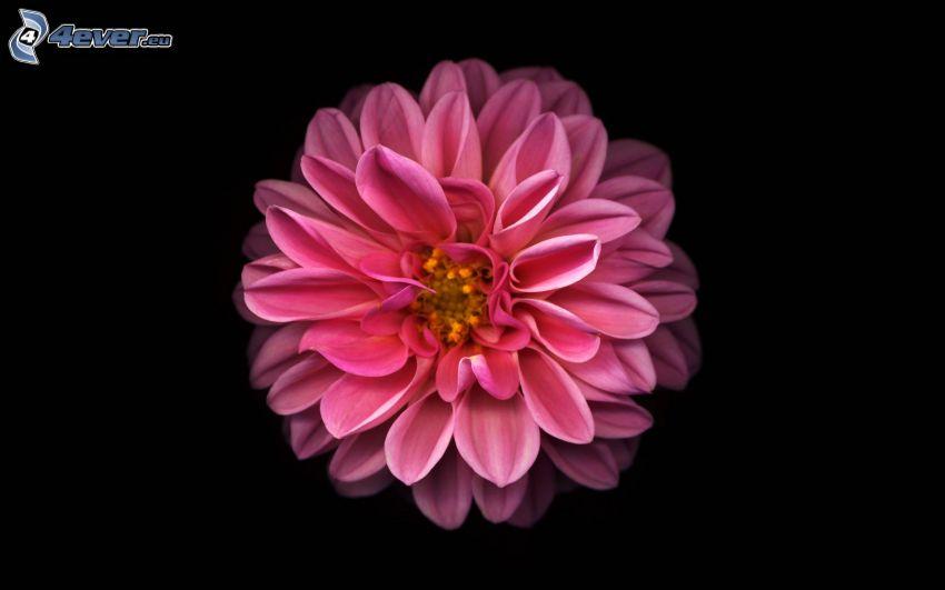 dahlia, pink flower