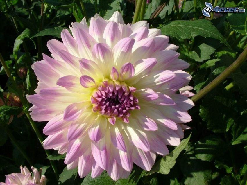 dahlia, purple flower
