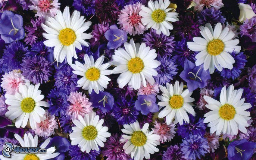 daisies, cornflower