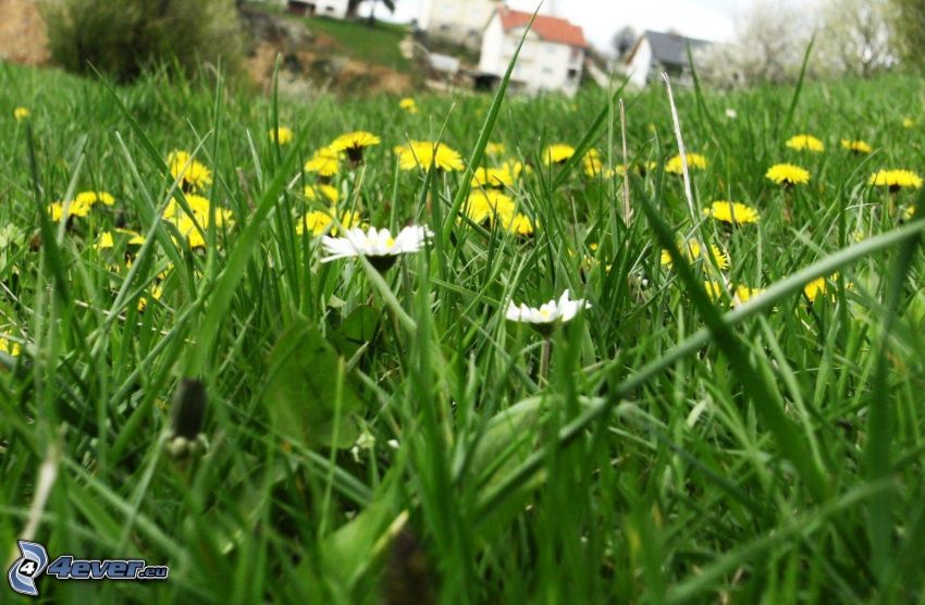daisies, dandelion, grass