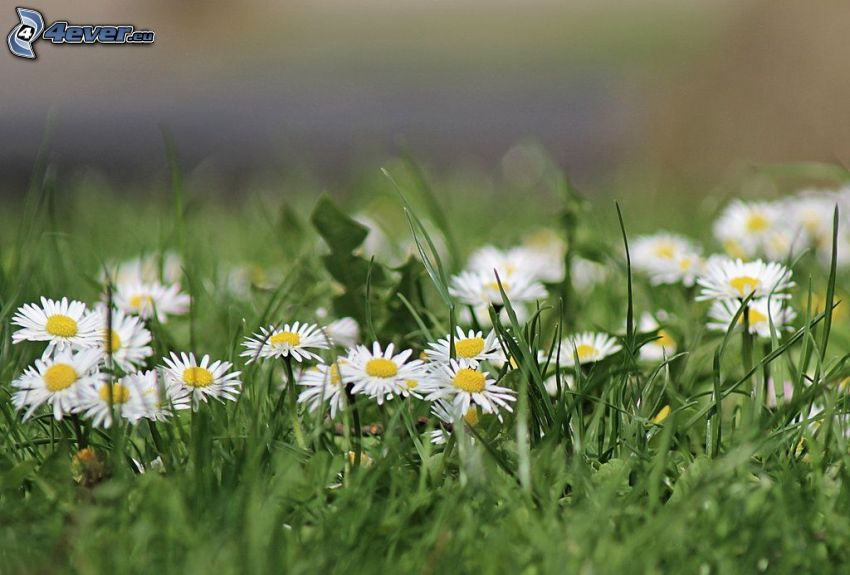 daisies, grass