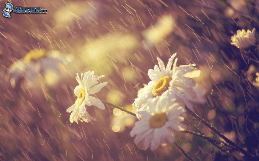 daisies, rain