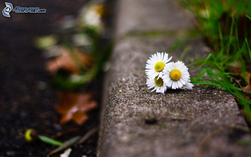 daisies, sidewalk