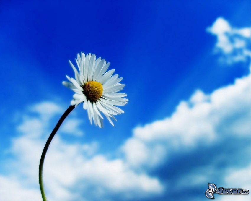 daisy, clouds