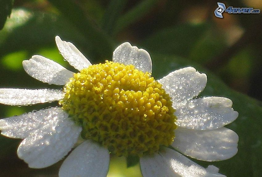 daisy, drops of water