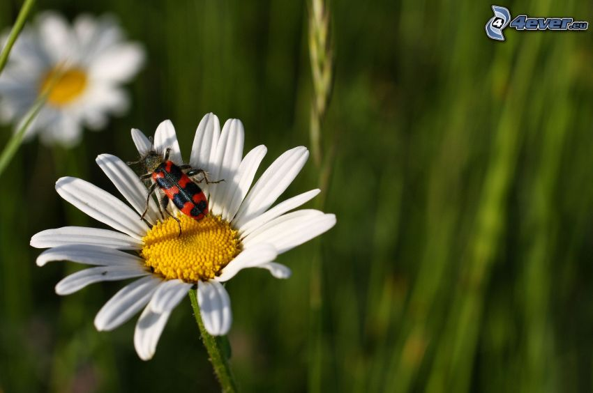 daisy, insects