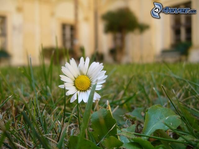 daisy, lawn