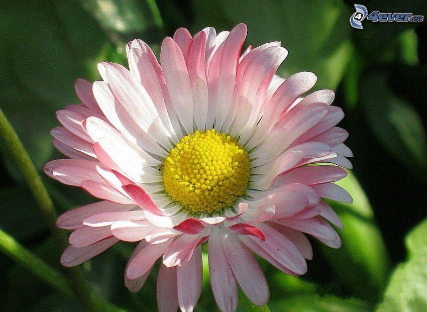 daisy, macro