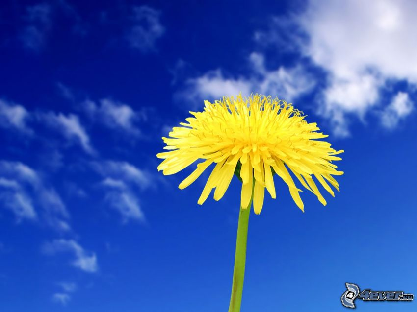 dandelion, blue sky, clouds