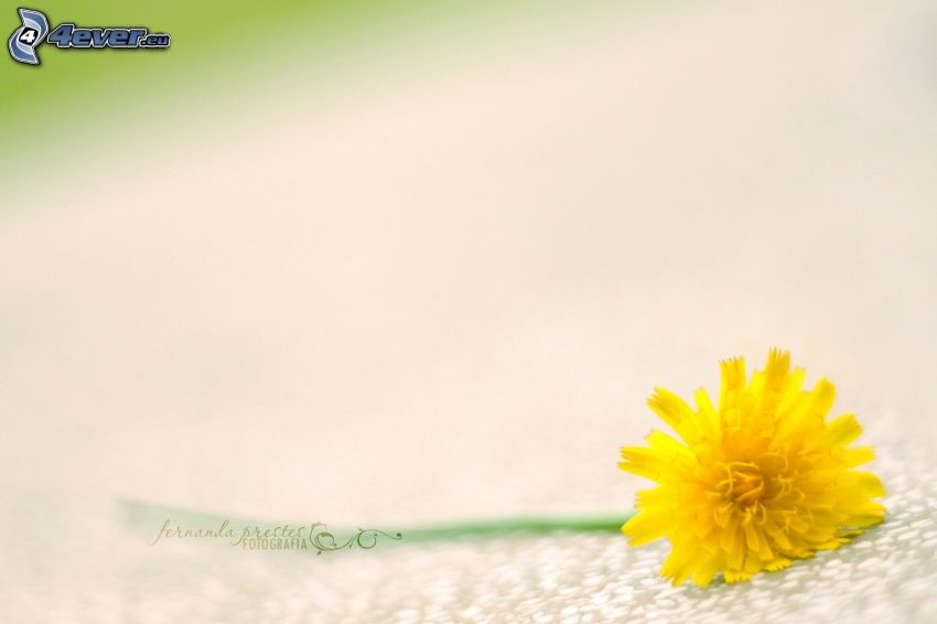 dandelion, yellow flower
